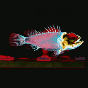 X-ray-scorpion-fish
