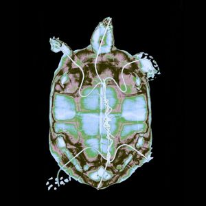 X-ray-turtle